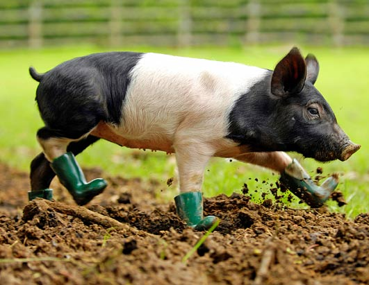 Pig_in_boots
